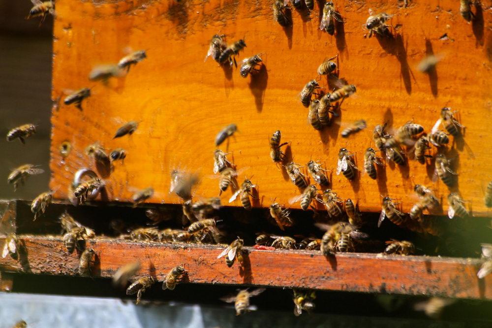 včely na česně