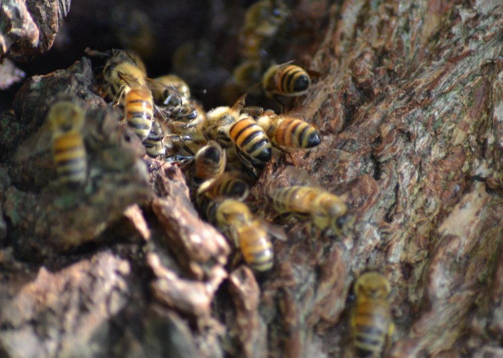 divoké včely