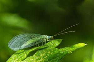 užitečný hmyz, zlatoočko