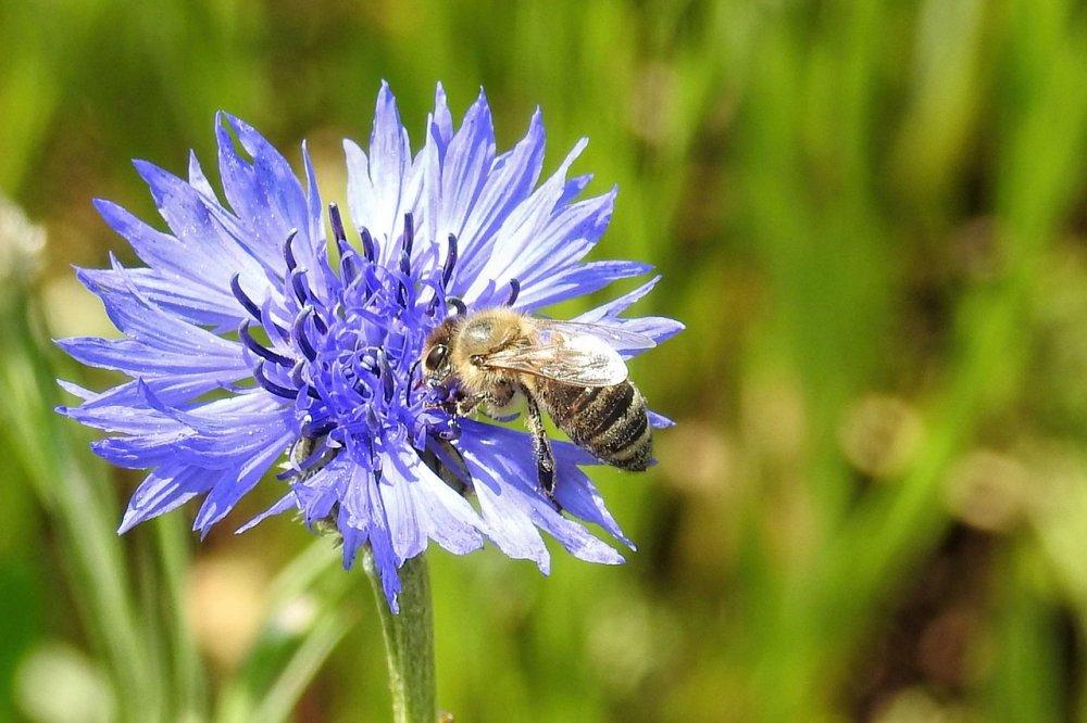 chrpa polní, květiny pro včely
