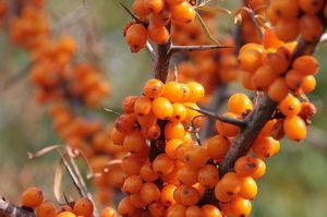 Rakytník řešetlákový - plody
