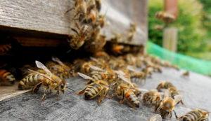 včely v srpnu