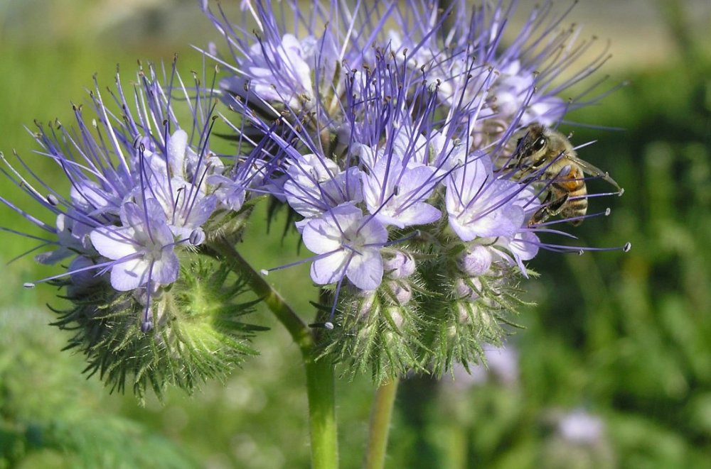 svazenka vratičolistá, květiny pro včely