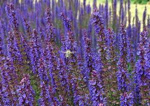 šalvěj, medonosné rostliny na zahradu