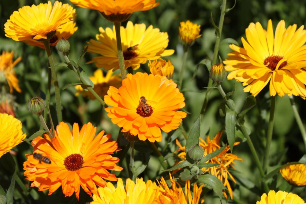 měsíček lékařský, květiny pro včely