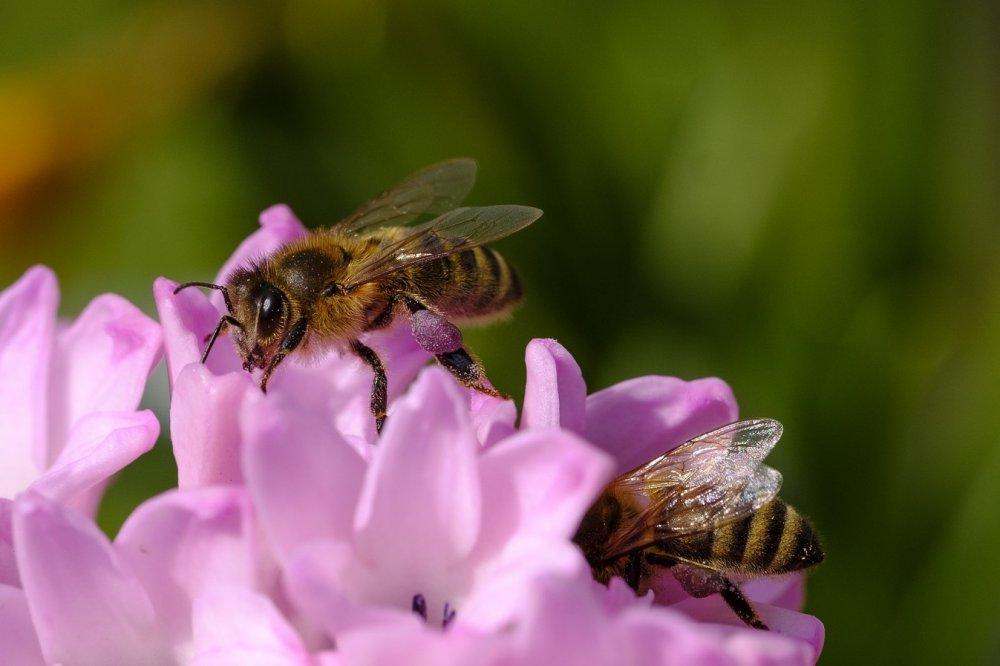 jak vzniká med, včely sbírají nektar