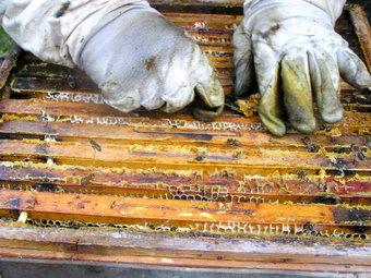 včelař seškrabuje propolis