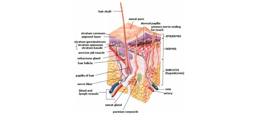 Struktura lidské pokožky