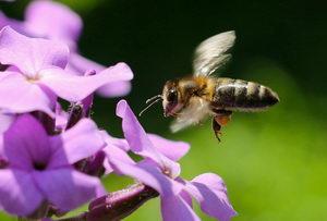 kalendář včelaře, letící včela