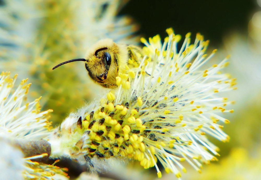 první jarní pyl, včela na květu vrby