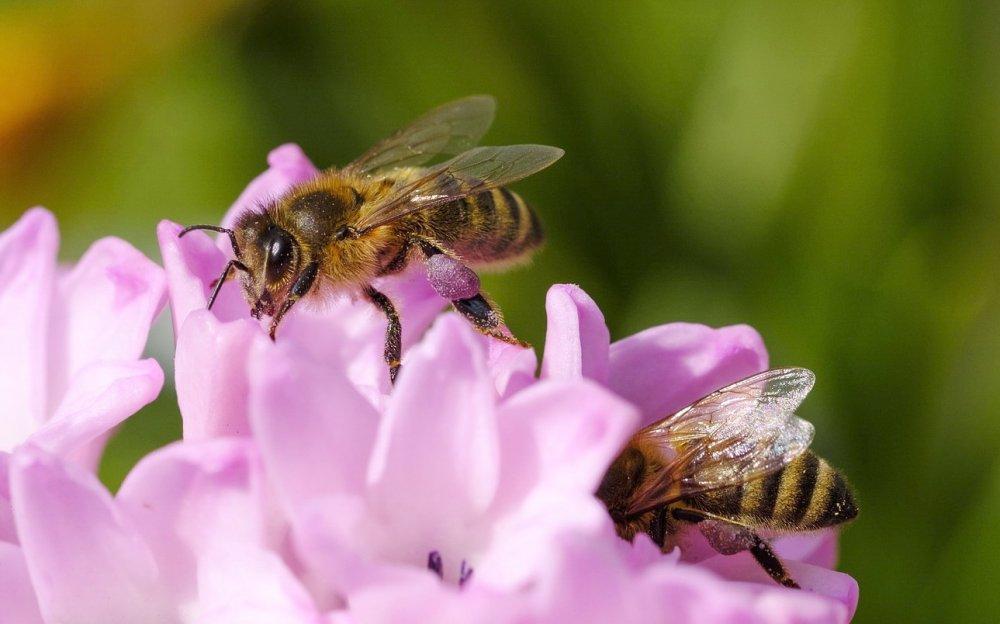 nejlepší opylovači, včela medonosná