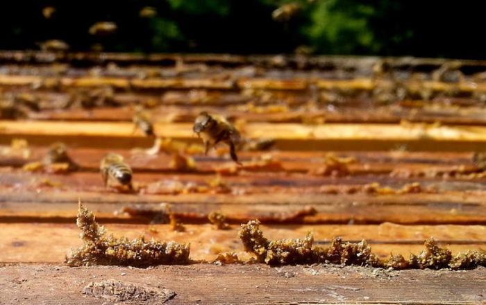 Medová mast s propolisem, Pleva