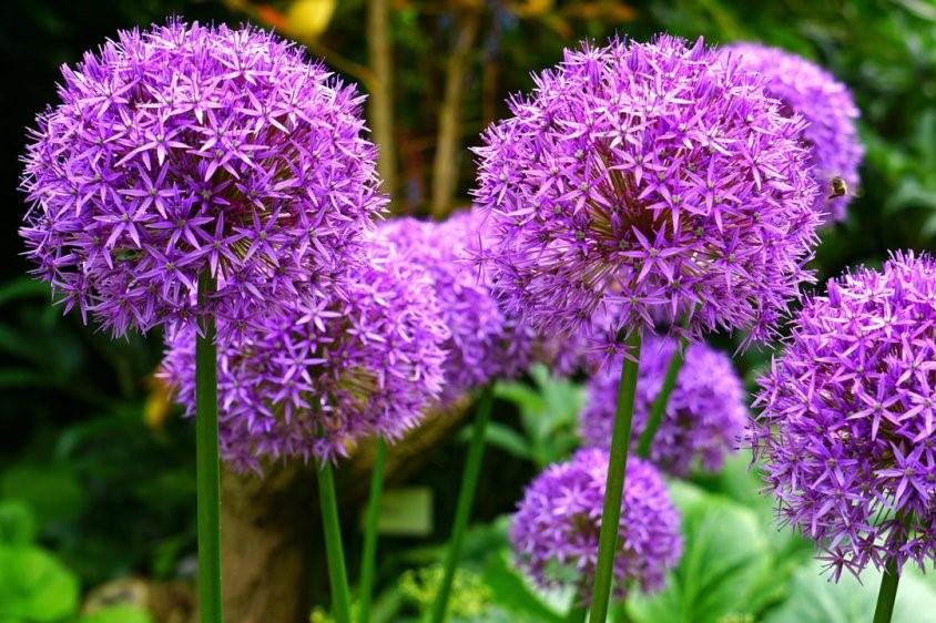 okrasný česnek, medonosné rostliny na zahradu