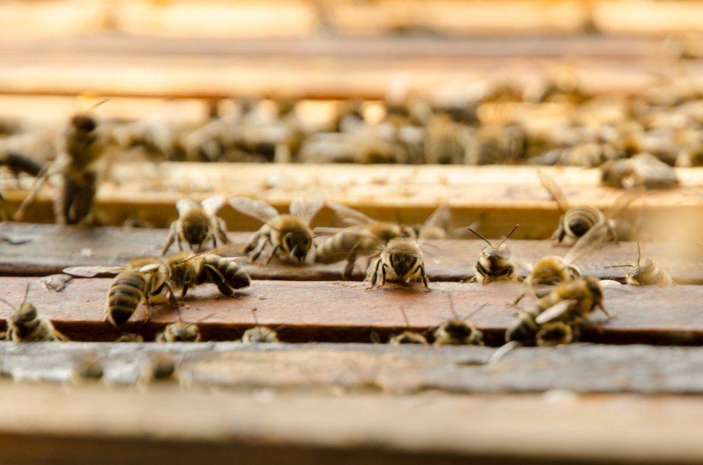 včely, jak vzniká med