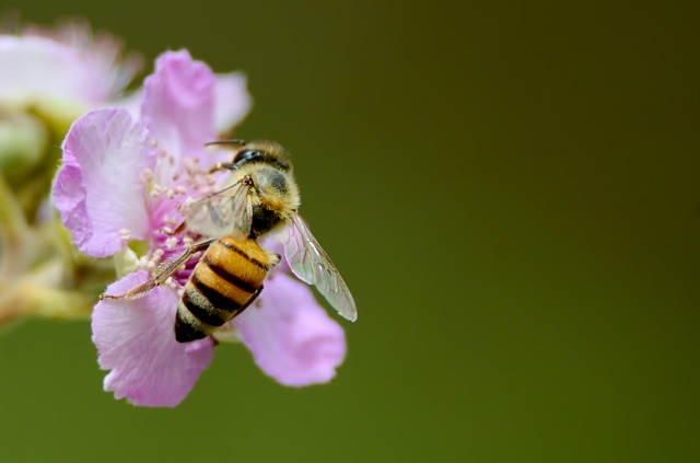 Včela květná
