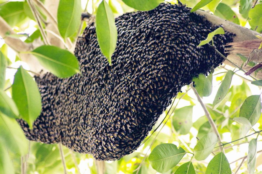 asijska včela obrovska, plasty