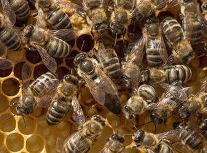 včelí matka - královna
