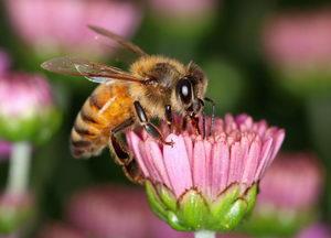 včela létavka při práci