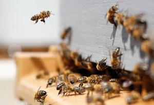 včely na česnu
