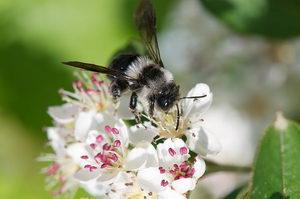 důležití opylovači, divoká včela, pískorypka popelavá