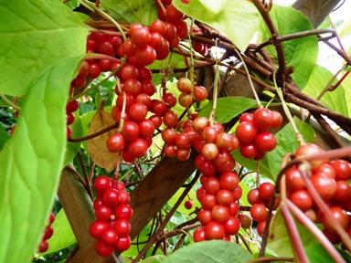 schizandra čínská, klanopraška, plody - Pleva