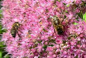 včely na rozchodníku, květen v úlu