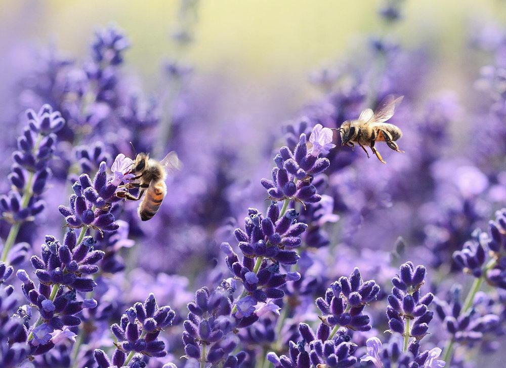 Včely sbírají pyl z levandulí
