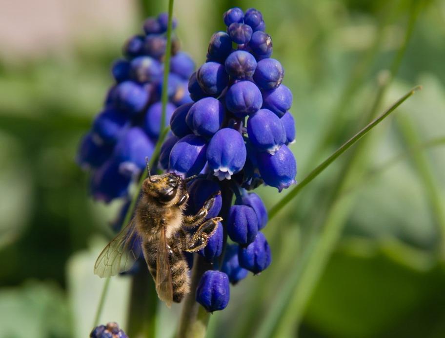 první jarní pastva pro včely, včela na květu modřence