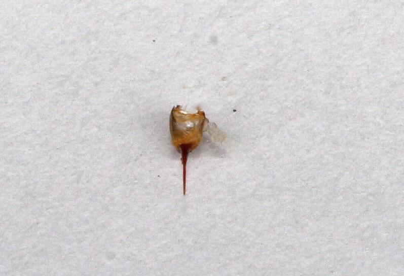 Včelí žihadlo s jedovým váčkem