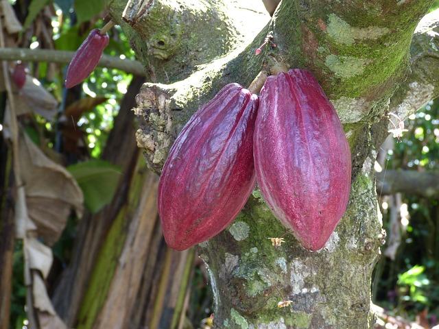 strom kakaovník, kakao, plody, čokoláda