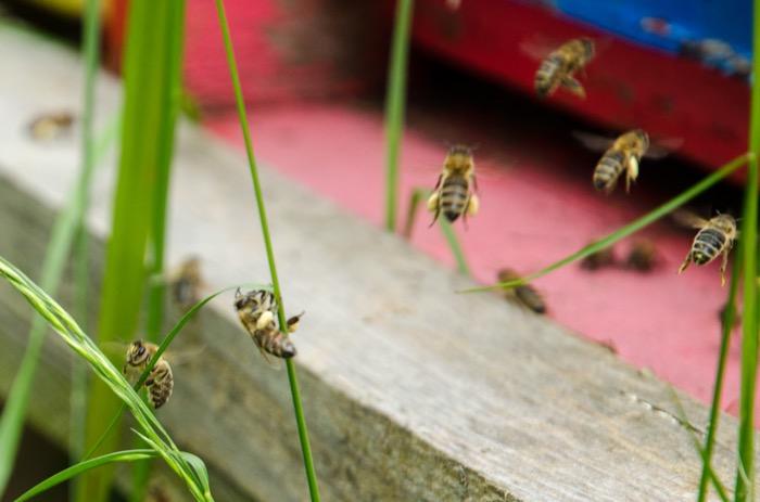 Včelí květový pyl rouskovaný - Pleva