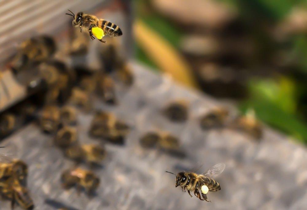včelky přinášející do úlu pylové rousky