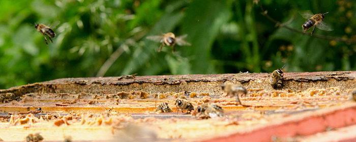 propolis, včelí produkt, pleva