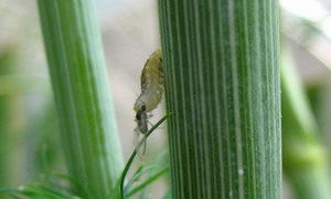 užitečný hmyz, hubení mšic, larva pestřenky požírající mšici