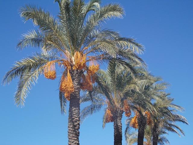 Datle palma, extrakt z datlí