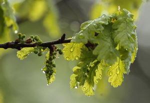 alergie v květnu, dub