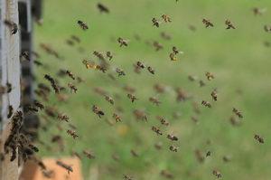 Včely dělnice - létavky vracející se do úlu