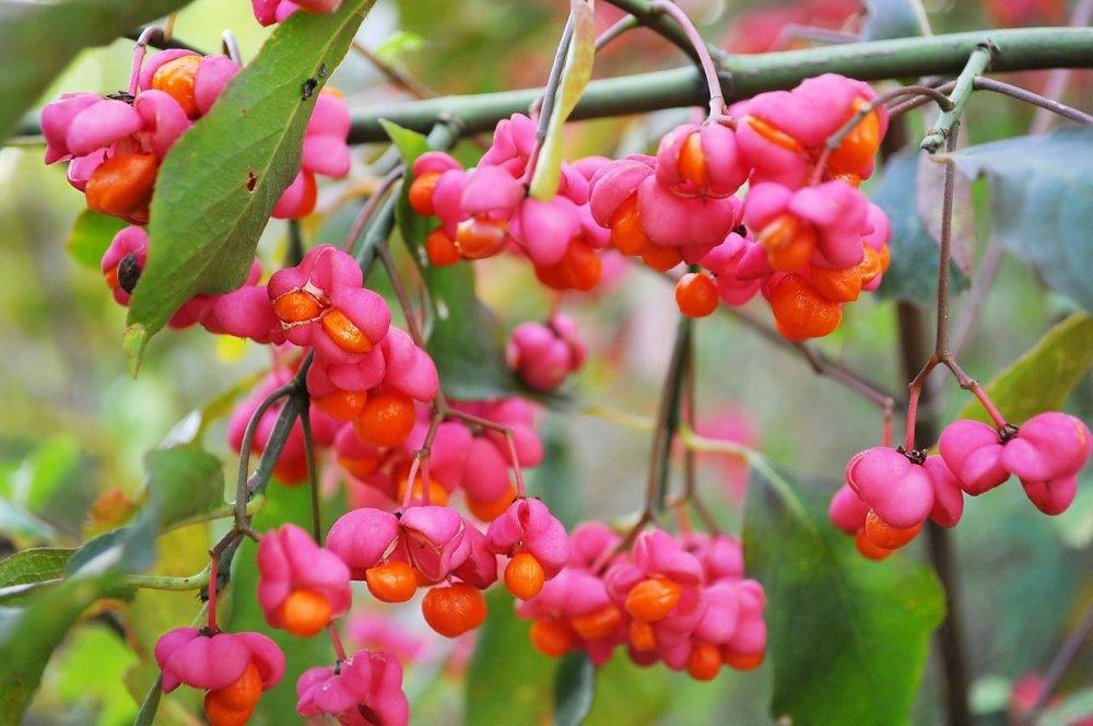 brslen, nektarodárné keře
