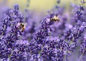 levandule, nektarodárné rostliny