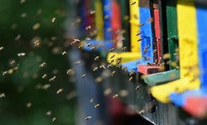 kde žije hmyz, včely medonosné před úly