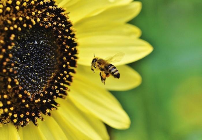 Med slunečnicový pastovaný Pleva
