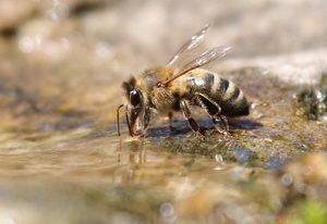 včela u vody