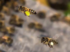 včely přinášejí pylové rousky do úlu