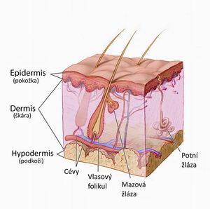 vrstvy kůže