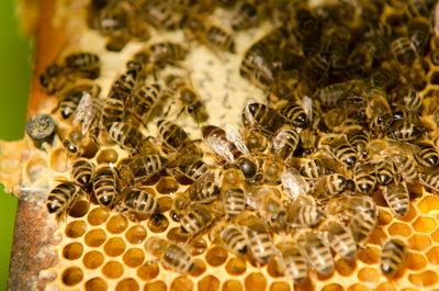 Včelí žihadlo