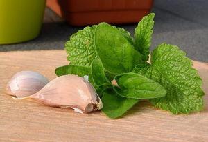 opar, léčba, přírodní, domácí, česnek, bylinky - Pleva