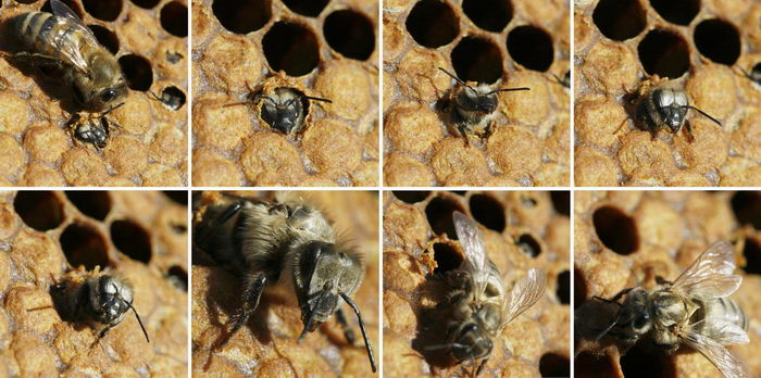 Líhnutí včely