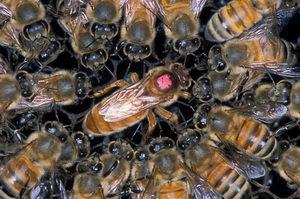 včelí matka - královna s krmičkami
