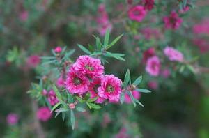 květy růžové manuky plnokvěté