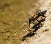 pleva včelka u vody